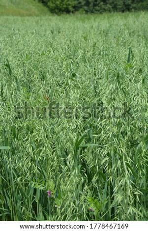 Oat, oats field, field with growing oats, green oats, oats cultivation.Unripe Oat harvest, green field #1778467169