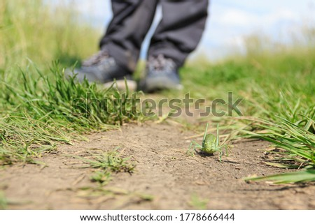 Big green grasshopper on pathway. Closeup of locust standing on dry brown ground. Blurred human legs with sport shoes in background. Insect wildlife. Shallow depth of field. #1778666444