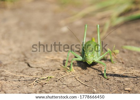 Closeup of single big green grasshopper. Macro of locust standing on dry brown ground. Insect wildlife. Shallow depth of field. #1778666450
