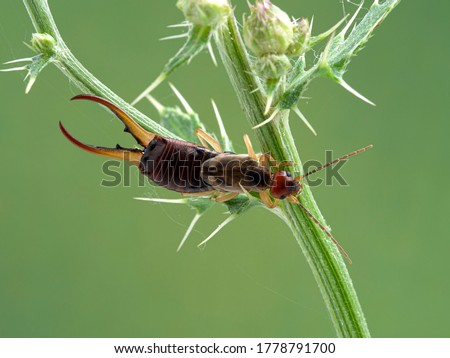 dorsal view of a male common or European earwig (Forficula auricularia) with very large pincers, climbing on thistle plant stem. Boundary Bay saltmarsh