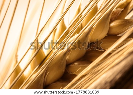 single golden two row barley ear bristle macro shot, looking onto seeds, use as background or compositing, copy text space, barley is a key ingredient in beer and whisky production Royalty-Free Stock Photo #1778831039