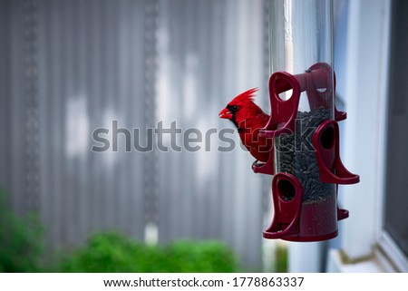 Red male Northern Cardinal on a burgundy bird feeder eating a seed. Picture is in an urban setting with a garage in the background. The cardinal is facing left in a profile view photograph.