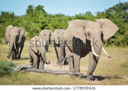 Family Elephants walking through the African bush. Photo taken in South Luangwa, Zambia. Royalty-Free Stock Photo #1778939426