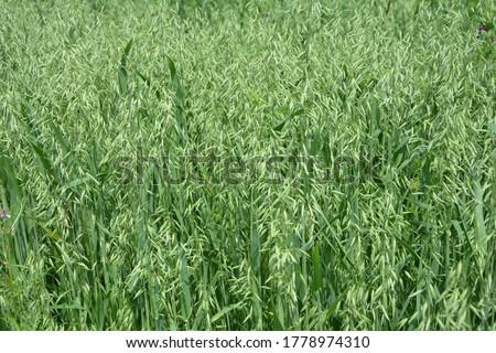 Oat, oats field, field with growing oats, green oats, oats cultivation.Unripe Oat harvest, green field #1778974310