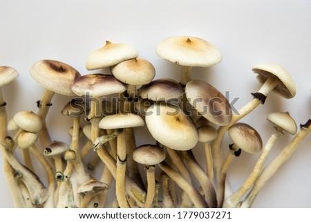 Psilocybin cubensis mushroom. Hallucinogenic Psychedelic drug. Medical research of psilocybin . Royalty-Free Stock Photo #1779037271