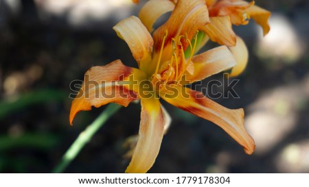 Orange lily in a beautiful lighting closeup,  the image from the lily collection of interior pictures.