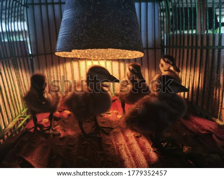 Close-up view of cute, fluffy, Little ducklings sleeping in a cage at a poultry farm Industrial breeding of ducks,Selective focus picture of duckling in the cage.
