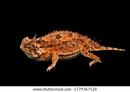 A Texas horned lizard and black background  Royalty-Free Stock Photo #1779367526