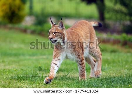 The Eurasian Lynx (Lynx lynx), portrait. Eurasian lynx in the garden.Big cat on green background. #1779411824
