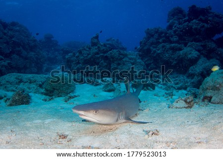 White tip Reef Shark on the reef