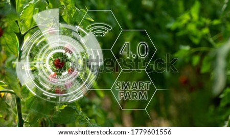 Tomatoes in greenhouse with infographics. Smart farming and precision agriculture 4.0 Royalty-Free Stock Photo #1779601556