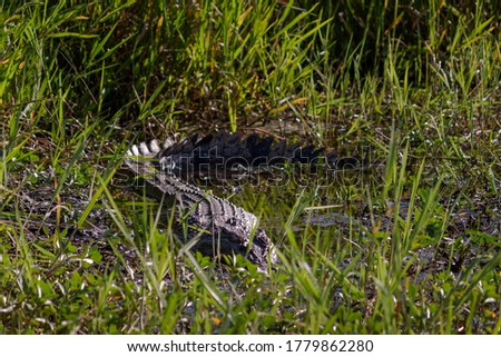 Female salt water crocodile hiding among the grass. Animal camouflaged resting at a water pond. Full body picture. Yellow Water billabong, Kakadu, Northern Territory NT, Australia