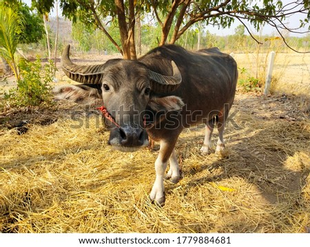 A picture of a male Thai buffalo standing on a straw.