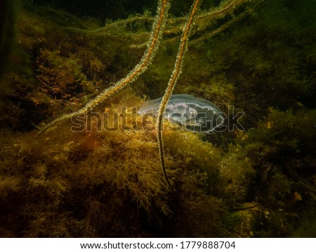 A Jellyfish appears in a beautiful underwater seascape. Cold green water and yellow seaweed. Picture from Oresund, Malmo in southern Sweden.