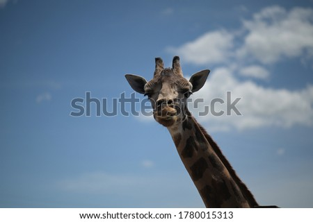 giraffe in the zoo, sky background, stare