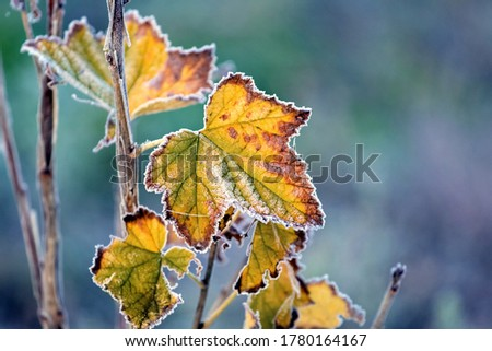 Frost-covered colorful currant leaves in the autumn garden Royalty-Free Stock Photo #1780164167