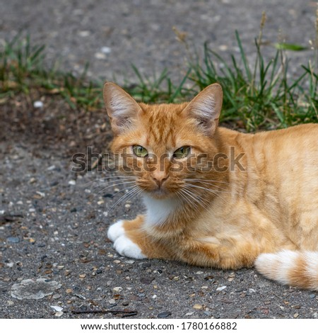 Ginger street stray cat. Beautiful homeless ginger cat.