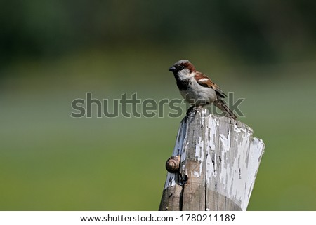 The House Sparrow Passer domesticus is a bird of the sparrow family Passeridae, found in most parts of the world. Male.