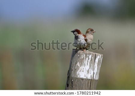 The House Sparrow Passer domesticus is a bird of the sparrow family Passeridae, found in most parts of the world. Male and female.