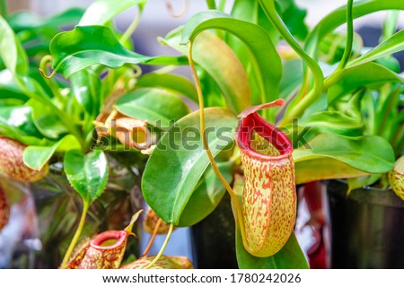 Nepenthes ampullaria, a carnivorous plant in a botanical garden Royalty-Free Stock Photo #1780242026
