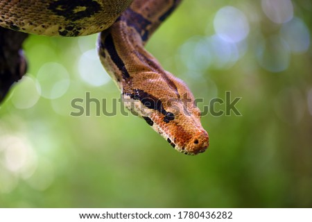 The boa constrictor (Boa constrictor), also called the red-tailed or the common boa on a branch in the middle of the forest. A large snake on a branch in the green of a bright forest. #1780436282