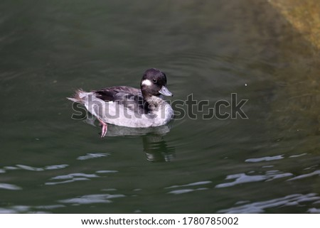 A small wild duck swims on a lake