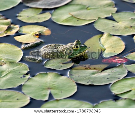 Frog sitting on a water lily leaf in the water displaying green body, head, legs, eye in its environment and surrounding, looking to the right side.