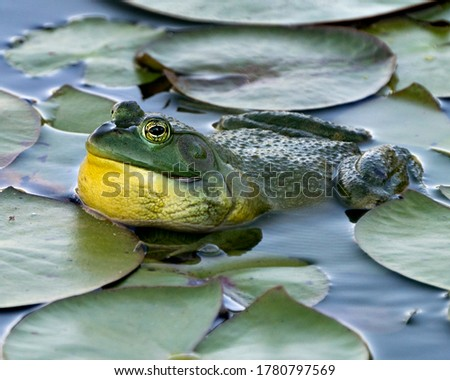Frog sitting on a water lily leaf in the water displaying green body, head, legs, eye in its environment and habitat, looking to the left side.