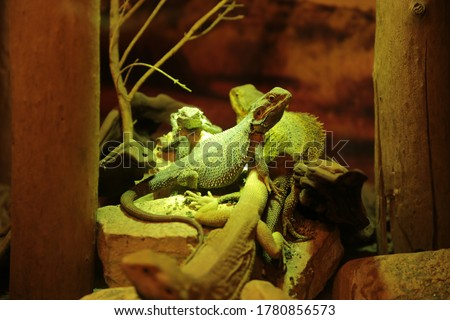Reptile under an infrared heat lamp. A beautiful rare animal. Aquarium for amphibians, imitation of natural conditions. Royalty-Free Stock Photo #1780856573