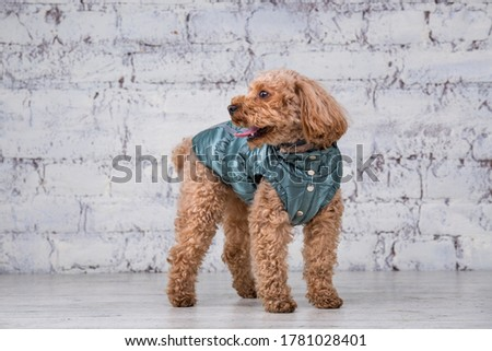 Small funny dog of brown color with curly hair of toy poodle breed posing in clothes for dogs. Subject accessories and fashionable outfits for pets. Stylish overalls, suit for cold weather for animal. #1781028401
