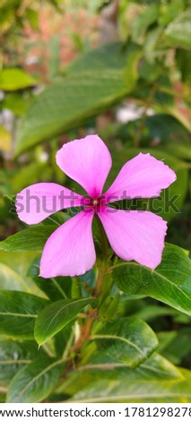 Catharanthus roseus, commonly known as bright eyes, Cape periwinkle, graveyard plant, Madagascar periwinkle, old maid, pink periwinkle, rose periwinkle. #1781298278