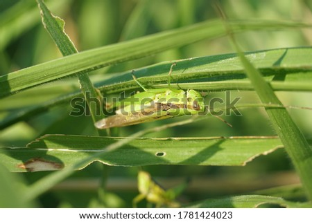 A green grasshopper (Schistocerca gregaria / Caelifera) is foraging on wild green grass. #1781424023