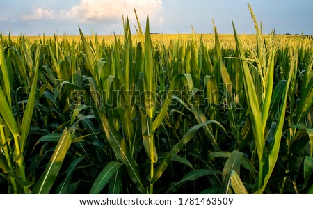 Field of corn from eye level with blue sky, long corn stalk leaves and yellow tassels, sunset, rows of corn, closeup, rural countryside, corn crop, harvest time