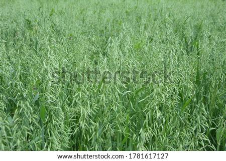 Oat, oats field, field with growing oats, green oats, oats cultivation.Unripe Oat harvest, green field #1781617127