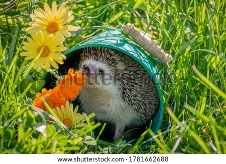 Four-toed Hedgehog (African pygmy hedgehog) - Atelerix albiventris funny summer picture