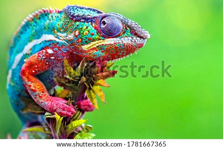 Wild Chameleon Reptile With Beautiful Colors #1781667365