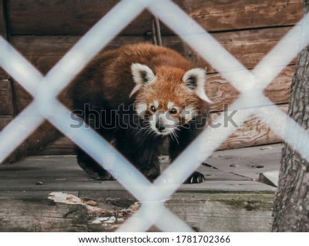 Close up picture of red panda through the fence net in the zoo. Freedom for all animals. Unique bear sitting in the cage and want freedom. Zoo concept with wild animals to show them for people.