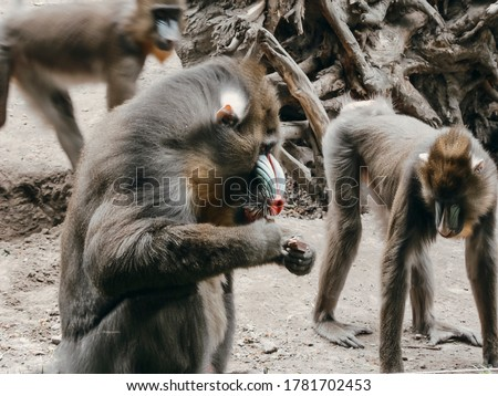 Close up picture of monkeys in the zoo. Monkey eating something and another looking somewhere. Zoo concept with wild animals. Freedom for all animals. Mandrill (Mandrillus Sphinx).