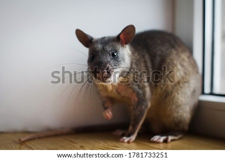 Giant african pouched rat in front of window Royalty-Free Stock Photo #1781733251