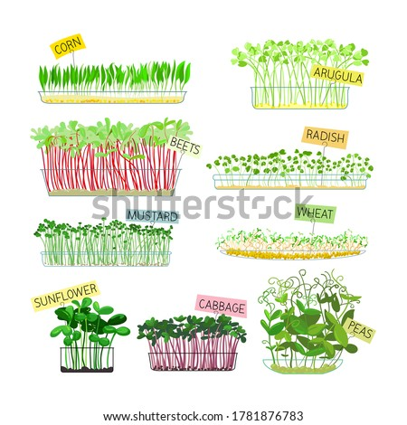 Set of Microgreens Icons Isolated on White Background. Corn, Arugula and Beets, Radish, Mustard and Wheat with Sunflower, Cabbage and Green Peas. Healthy Food Sprouts. Cartoon Vector Illustration #1781876783