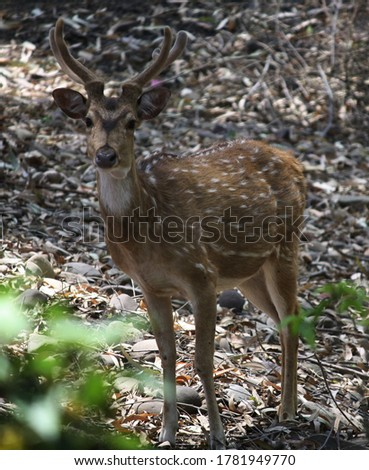 Cheetal, also known as spotted deer, chital deer, and axis deer, is a species of deer native to Indian subcontinent.  This picture is from Nepli Forest.