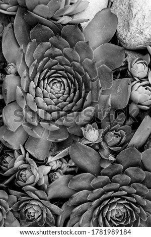 Black and White closeup of succulents plants  natural background. selective focus. Fresh green succulents in the nature.