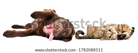 Funny cute labrador puppy and  cat scottish straight lying isolated on a white background Royalty-Free Stock Photo #1782088511