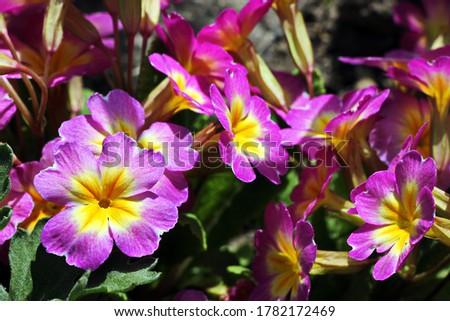 Perennial primrose or primula in the spring garden. Spring primroses flowers, primula polyanthus. Purple primroses in spring woods. Primroses in spring. The beautiful colors primrose flowers garden. #1782172469