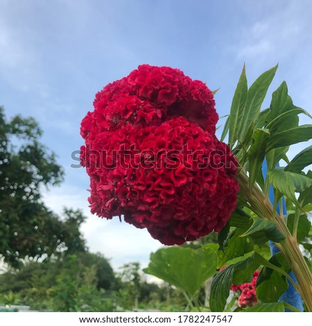 "Cockscomb is also known as Celosia.It came from the Greek work ""kelos"" which means burned because of its bright coloured petals."