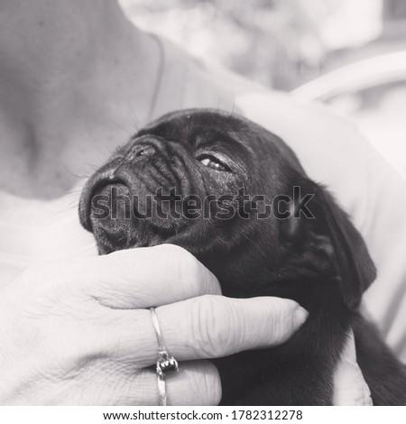 Cute black pug puppy photos