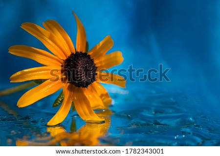 Yellow flower on a blue water background. Macro photo. Yellow flower close-up. Reflection of a flower in water. Texture of yellow petals. Water texture. Blue background. Water drops. Bokeh #1782343001