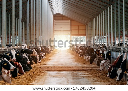 Diary cows in modern free livestock stall Royalty-Free Stock Photo #1782458204