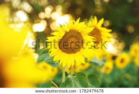 Beautiful nature view of sunflower on blurred background in the field with copy space using as summer background natural flora plants landscape close up. Ecology, fresh cover page concept