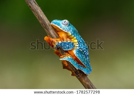 Golden-eyed leaf frog, Cruziohyla calcarifer, green yellow frog sitting on the leaves in the nature habitat in Corcovado, Costa Rica. Amphibian from tropic forest. Wildlife in Central America. Royalty-Free Stock Photo #1782577298